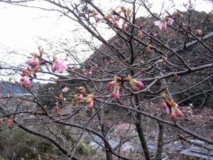 河津桜 2