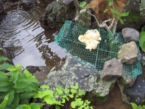 モリアオガエル卵 1