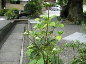 H26年 秋明菊